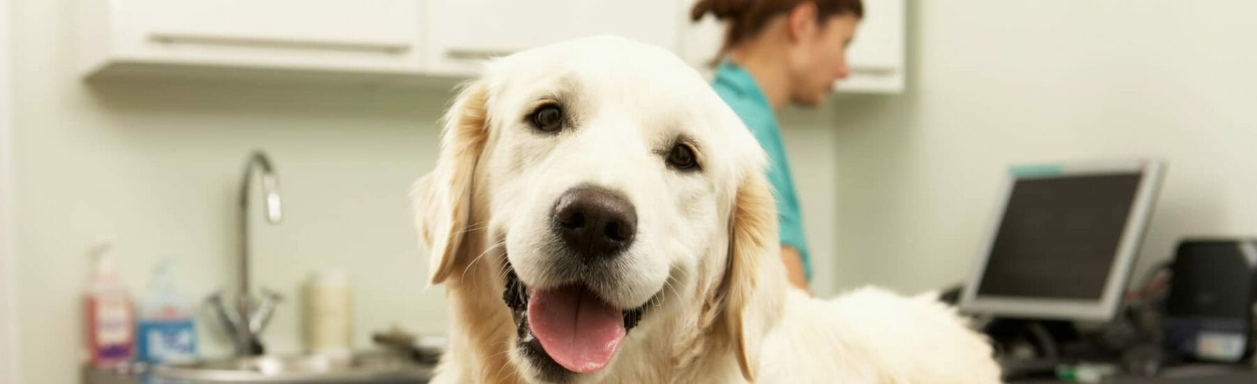 White dog at the veterinary clinic looking at camera
