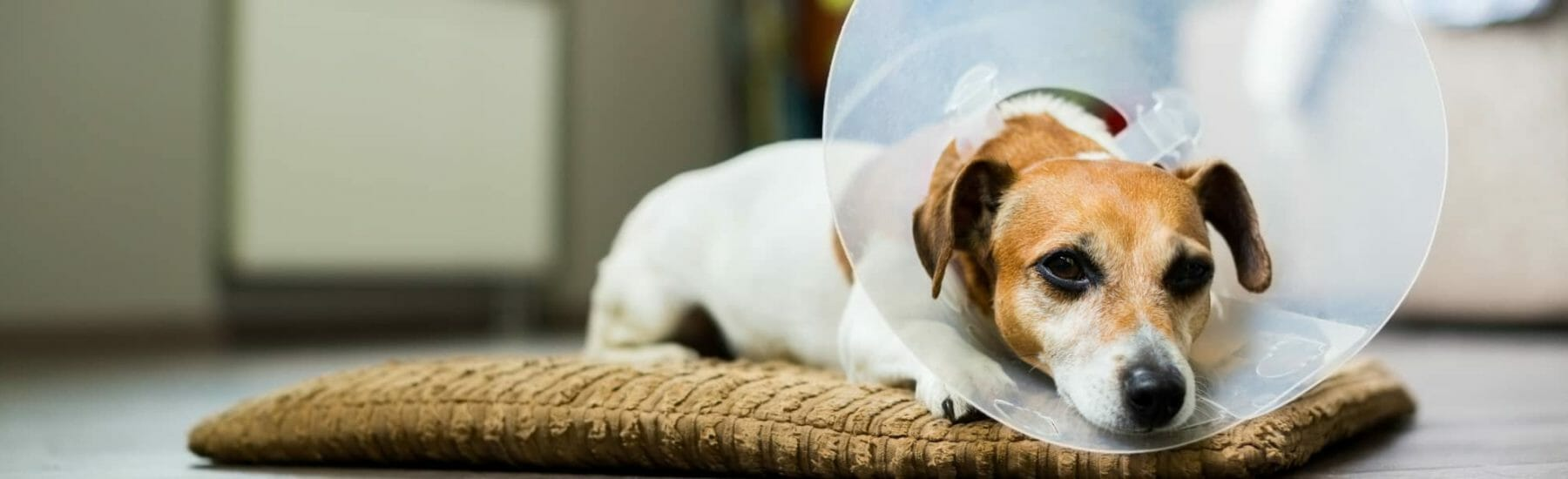 Brown and white dog laying down with transparent cone on head