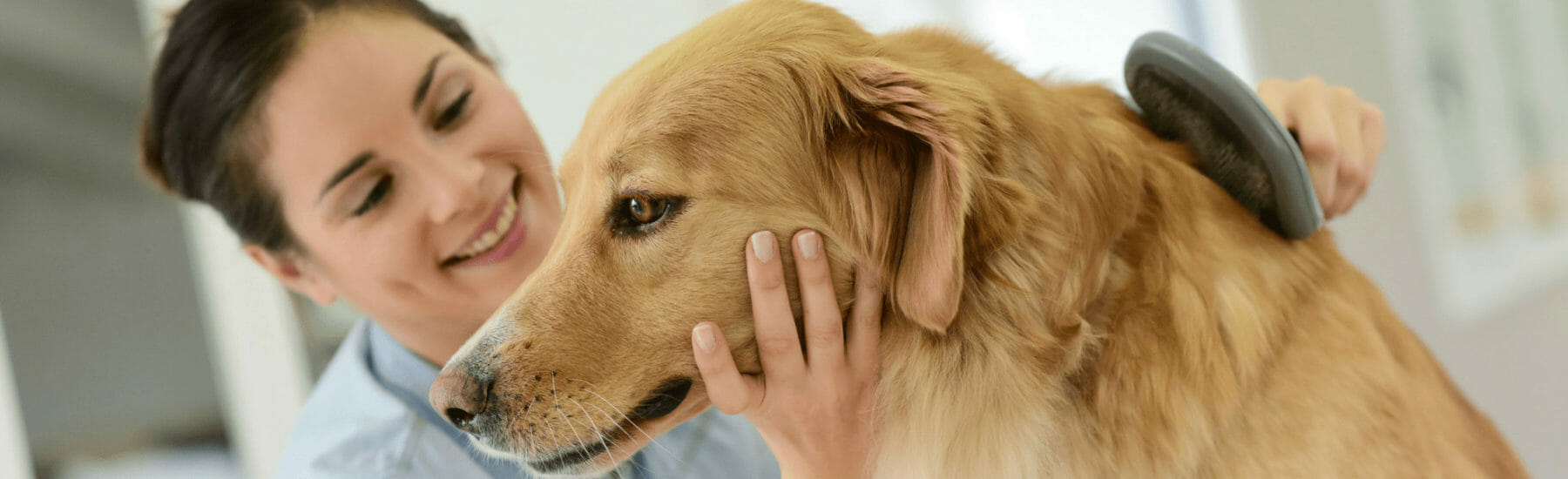 Golden dog getting fur brushed