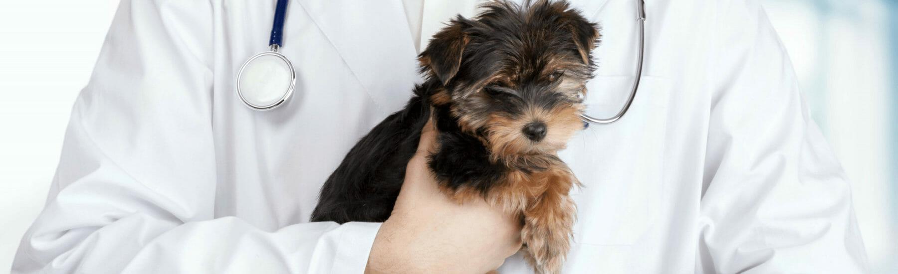 Small black dog being held by veternarian