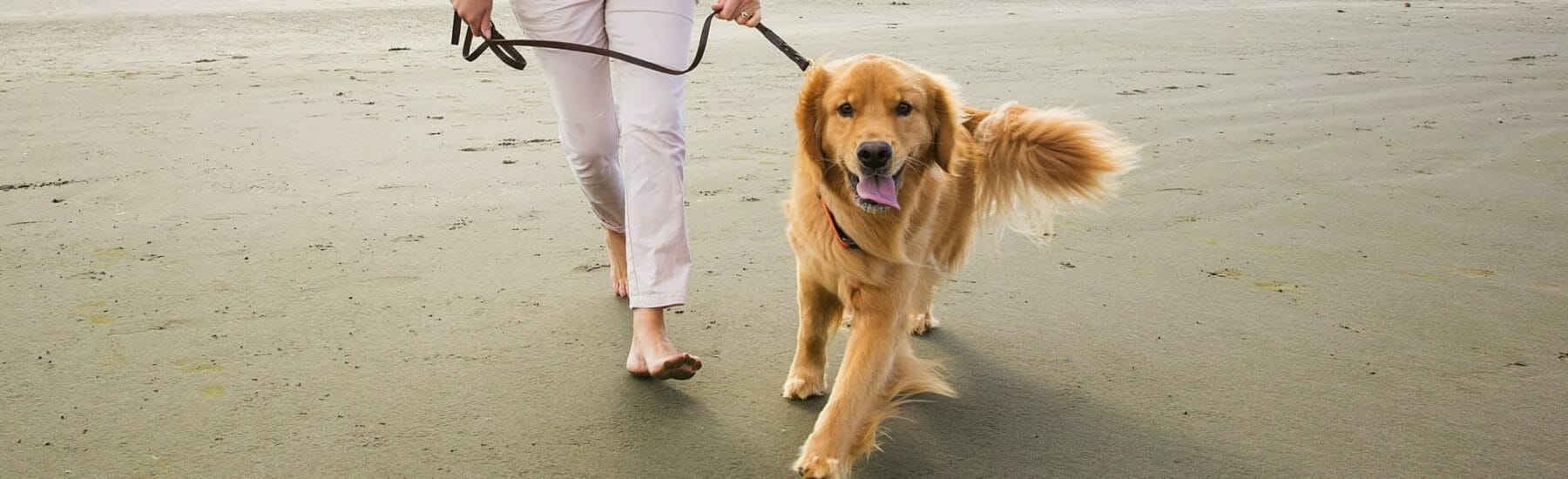 Golden dog walking on beach while on leash