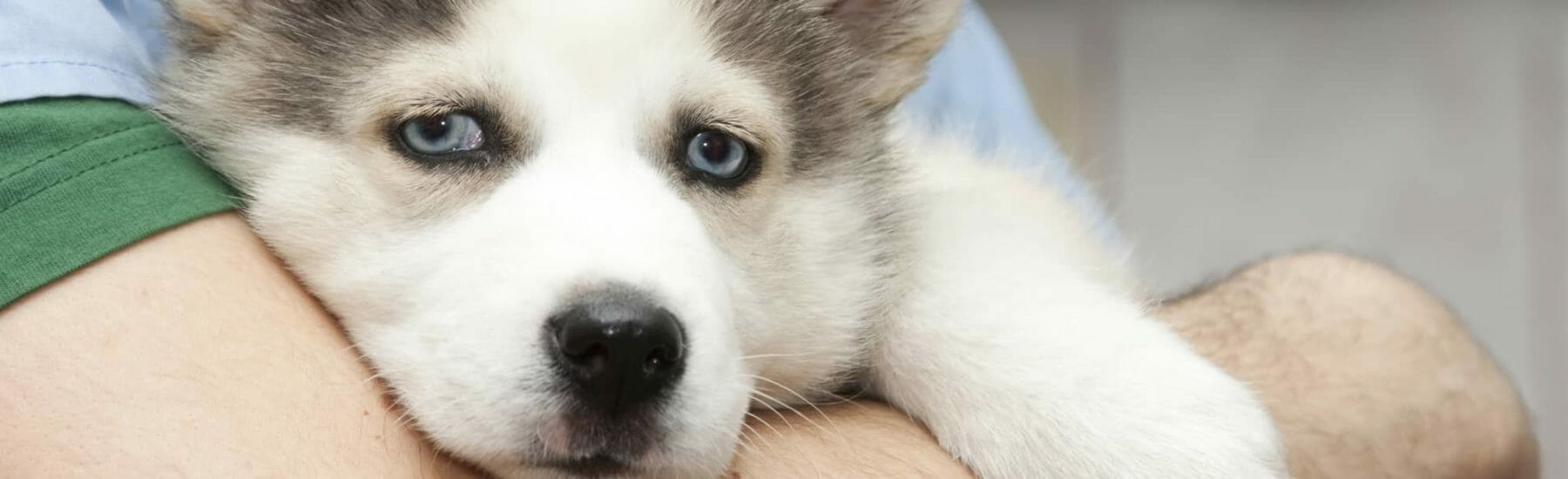 Small husky being held by veterinarian